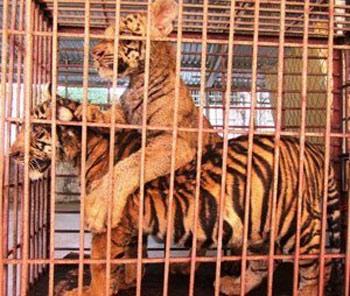 Vụ cả làng nuôi hổ: Dân vẫn tẩu tán được - 1