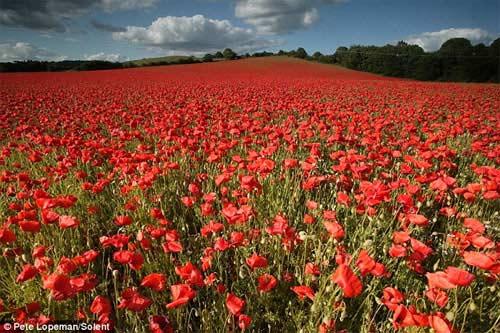 Những cánh đồng hoa tuyệt đẹp ở nước Anh - 1