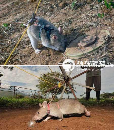 Chuột thay chó đánh hơi thuốc nổ và ma túy - 1