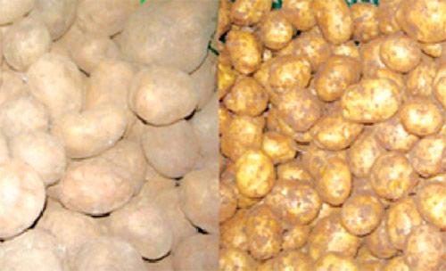 Cách nhận biết khoai tây Trung Quốc - 1