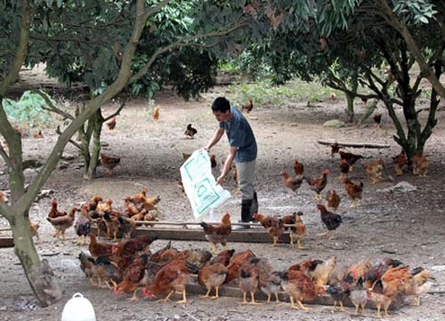 Bắc Giang: Gắn tem cho gà đồi - 1
