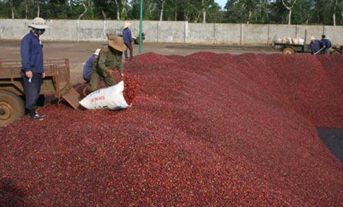 Người trồng cà phê tiếp tục lao đao - 1