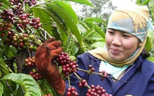 Nông dân lại găm cà phê chờ tăng giá - 1