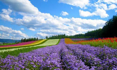 Cánh đồng hoa đẹp hút hồn ở Hokkaido - 1