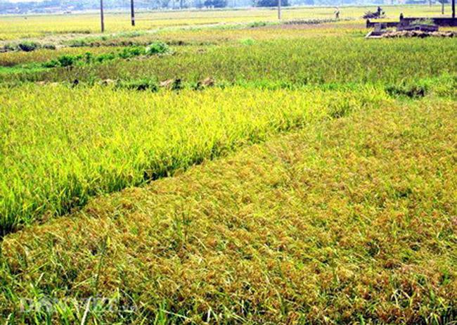 Một số hình ảnh ghi lại không khí gặt mùa ở phía Tây ngoại thành Hà Nội.