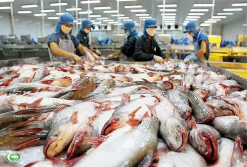 """""""Đói"""" cá tra giữa mùa xuất khẩu - 1"""