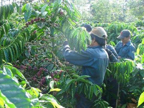 Cà phê rớt giá: Tổn thất lớn cho hộ nghèo - 1