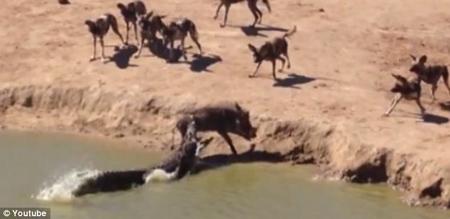 Cá sấu ranh mãnh cướp mồi của chó rừng - 1