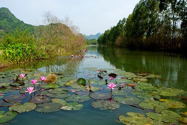 Suối Yến thuộc huyện Mỹ Đức (Hà Nội) là nơi có nhiều hoa súng và nở đẹp.