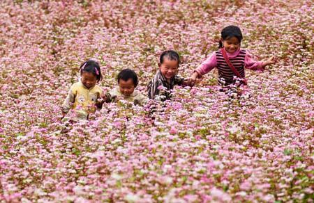 Hoa tam giác mạch phủ hồng các cao nguyên - 1