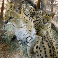 Mỹ: Mèo rừng cắn chết nhân viên bảo tồn