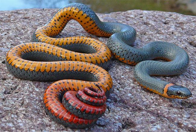 Loài rắn ngũ sắc này giống như một tác phẩm photoshop