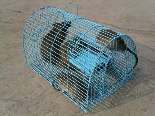 Bố mẹ nháo nhào săn chuột để con nộp đủ 3 đuôi - 1