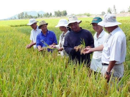 """""""Bắt tay"""" liên kết sản xuất, tiêu thụ lúa gạo - 1"""