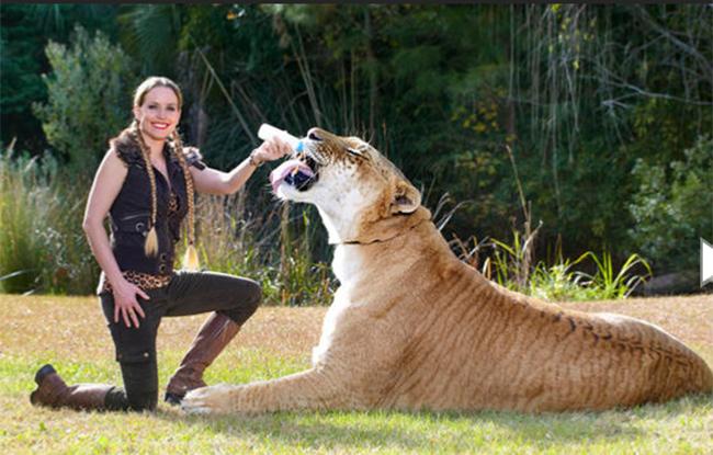 Loài mèo lớn nhất thế giới là con lai giữa một con sư tử và một con hổ hiện đang sống tại khu bảo tồn động vật hoang dã Myrtle Beach Safari ở Nam Carolina. Nó dài 3,32m, cao 1,24m và nặng đến hơn 418kg