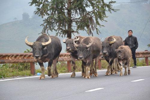 Sa Pa: Gia súc chết hàng loạt vì rét đậm - 1
