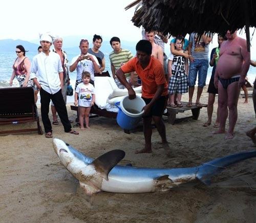 Lần đầu tiên, cá Nhám dạt vào bờ biển Nha Trang - 1