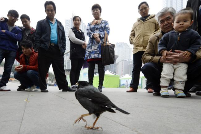 Sự có mặt của chú chim sáo đá trên đường phố Trùng Khánh, Trung Quốc đã thu hút không ít sự chú ý của người dân.