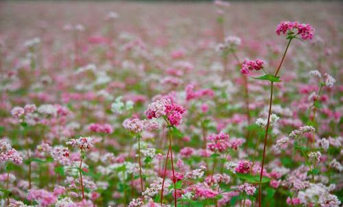 Giới trẻ rủ nhau lên Hà Giang ngắm hoa tam giác mạch - 1