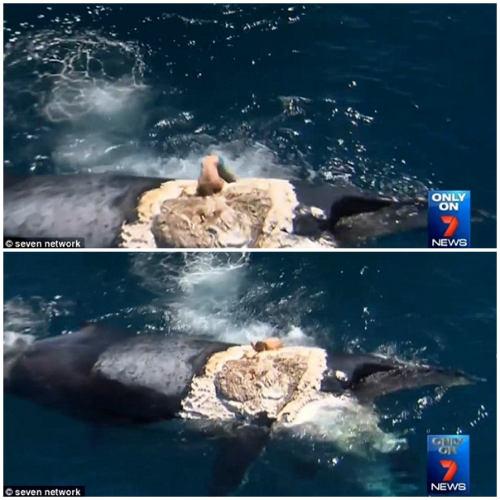 Nghịch dại cưỡi xác cá voi trêu đùa cá mập - 1