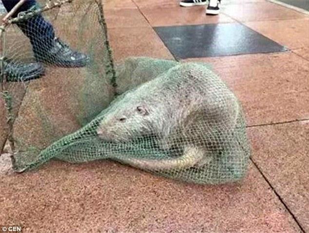 """TQ: Bắt được chuột """"khổng lồ"""" dài gần 1 mét - 1"""