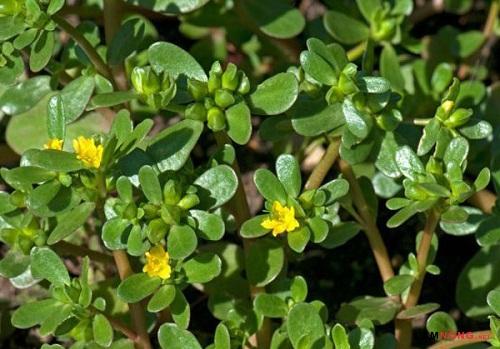 Bài thuốc trị sỏi thận hữu hiệu từ rau sam - 1