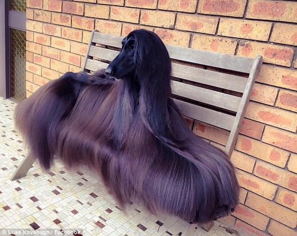 Chú chó nổi tiếng vì lông dài lượt thượt như suối tóc - 1