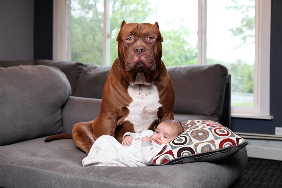 Cặp vợ chồng trẻ để chó pitbull 76kg trông con 3 tháng tuổi - 1