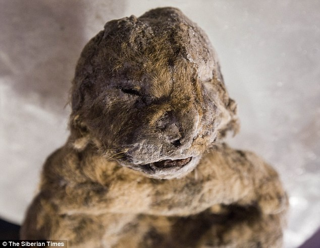 Xác ướp sư tử con nguyên vẹn hơn 3 vạn năm ở Siberia - 1