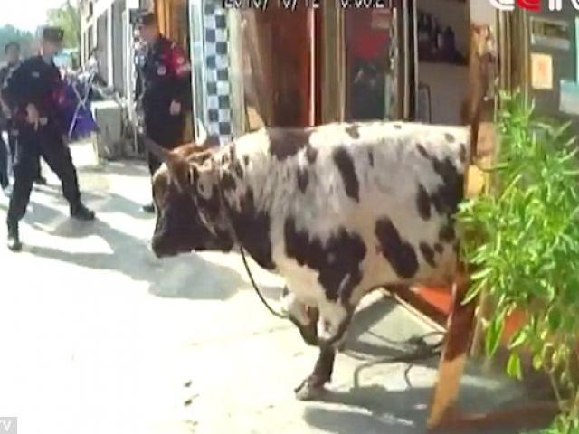 Bò điên húc loạn trong khu phố khiến người dân khiếp sợ