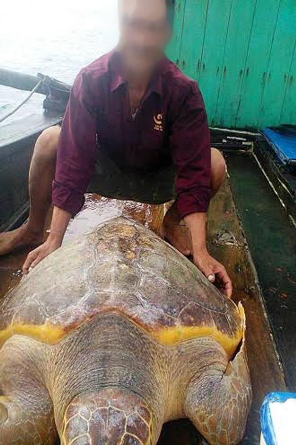 Rùa vàng 70kg cực hiếm mắc lưới ngư dân - 1