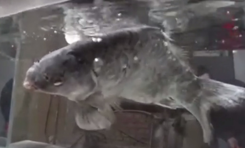 Video: Cá chép đóng băng sống lại khi cho vào nước - 1