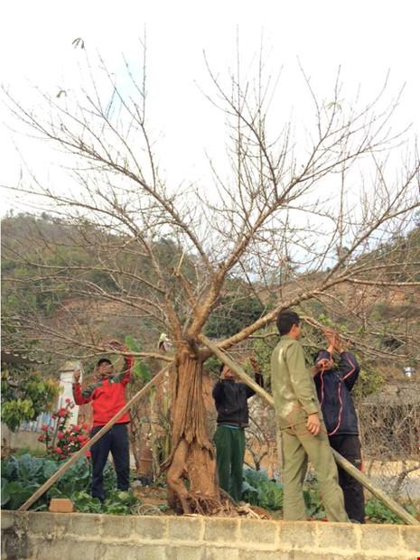 Chiêm ngưỡng cây đào mọc từ thân cây cổ thụ hiếm thấy - 1