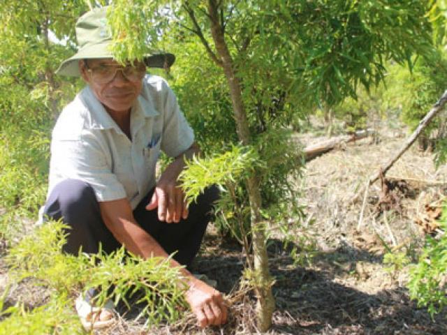 Làm giàu ở nông thôn: Trồng đinh lăng, mới bán lá, thân có 150 triệu