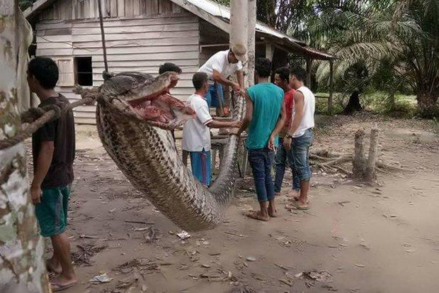 Indonesia: Người đàn ông tử chiến với trăn khổng lồ dài 7m - 1