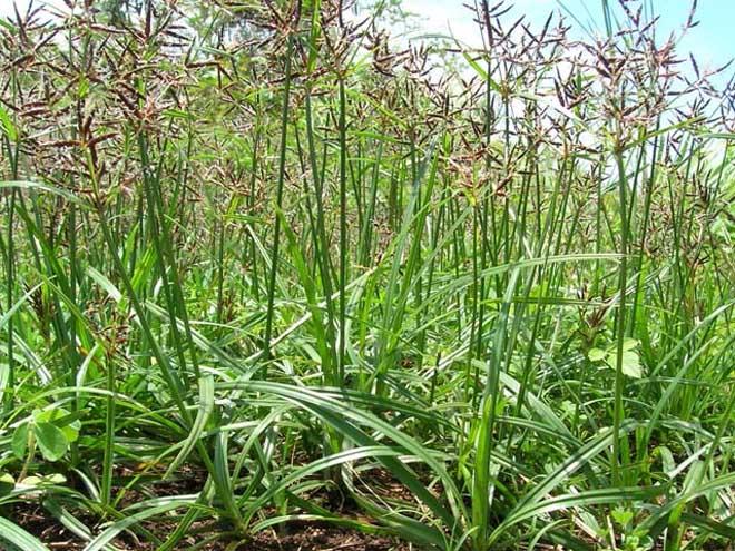 Phát hiện 5 cây thảo dược dễ kiếm hỗ trợ điều trị huyết áp thấp hiệu quả - 1