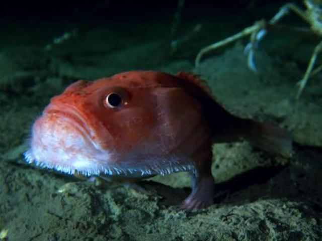 """Sửng sốt phát hiện cá có chân đang """"đi dạo"""" dưới đáy biển"""