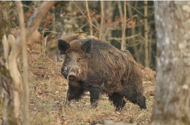 Đi thu hoạch ngô, người nông dân TQ bị lợn rừng giết chết - 1