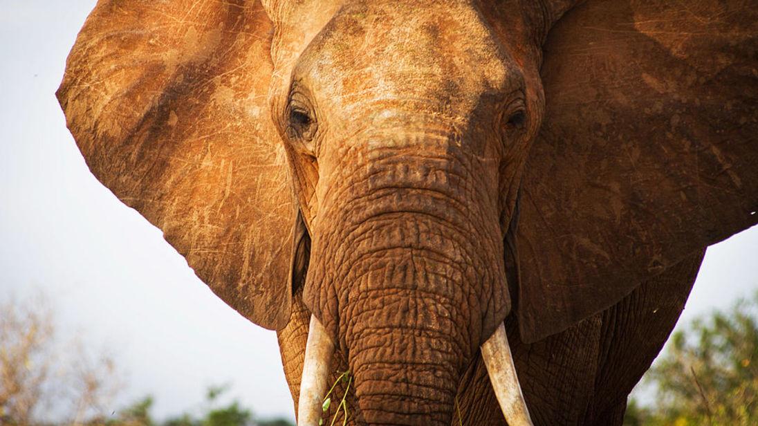 Đến gần chụp ảnh, bị voi châu Phi truy đuổi, giày chết - 1