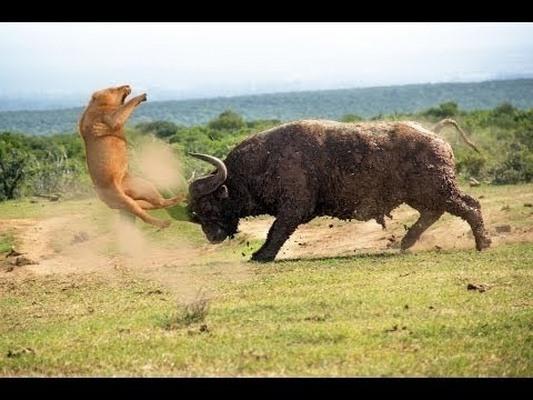 Điều gì xảy ra khi sư tử tấn công trâu rừng nặng 1 tấn? - 1