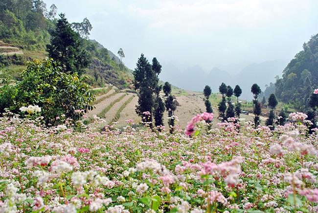 Cứ mỗi độ từ tháng 10 đến tháng 12, Hà Giang lại trở thành một điểm hẹn du lịch được nhiều người lựa chọn bởi, đây đang là thời kỳ hoa tam giác mạch nở rộ, khoe sắc rực rỡ.