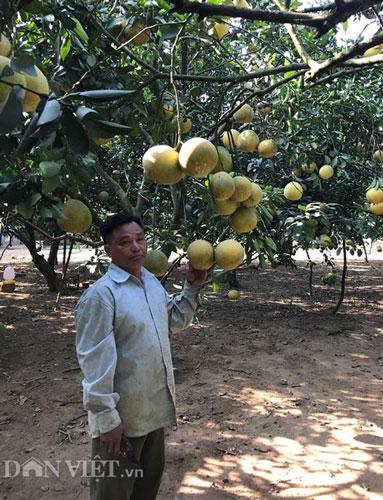 Làm giàu ở nông thôn: Phát tài với vườn bưởi Diễn 40.000 quả - 1