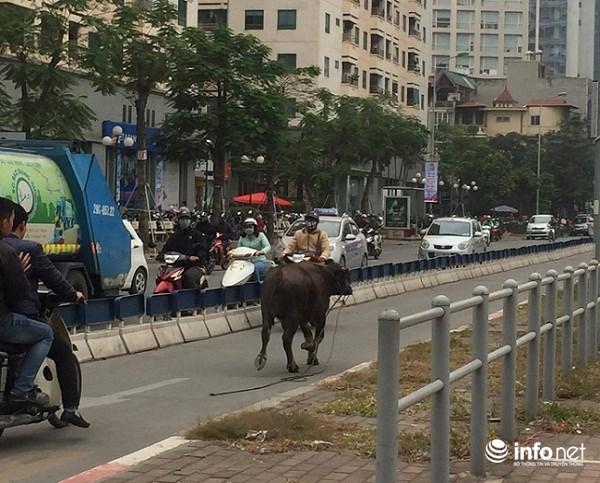 Hà Nội: Trâu điên húc người náo loạn trên phố - 1