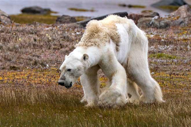 Gấu Bắc cực teo tóp thảm hại lết đi kiếm ăn: Sao không ai cứu? - 1