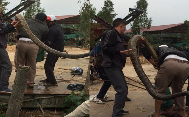 Nóng 24h qua: Xuất hiện rắn nặng 20kg, dài hơn 4m ở Vĩnh Phúc - 1