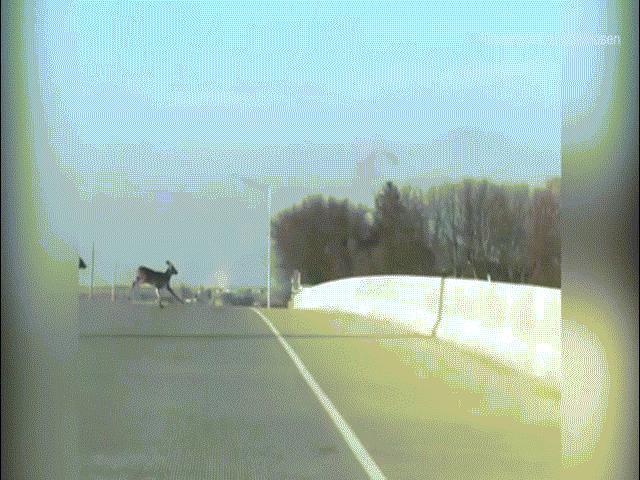 Hãi hùng cảnh đàn hươu nối đuôi nhau nhảy cầu tự tử ở Mỹ