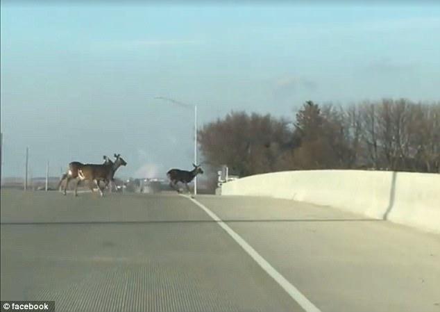 Hãi hùng cảnh đàn hươu nối đuôi nhau nhảy cầu tự tử ở Mỹ - 1