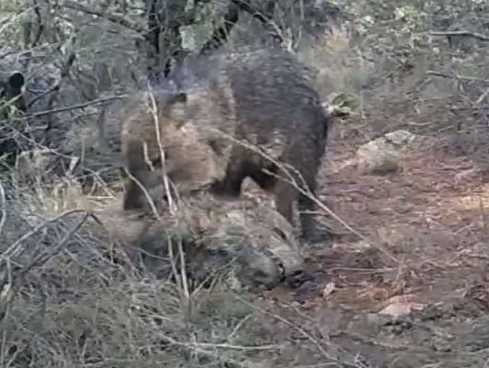 """Video: Lợn lòi chết, đồng loại đến """"viếng"""" suốt 10 ngày - 1"""