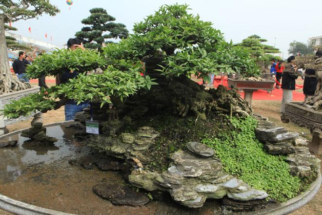 Chiêm ngưỡng cây mai chiếu thủy trăm tuổi, trả gần nửa tỷ không bán - 1