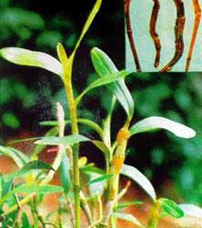 Tưởng là cây cảnh hóa ra là một vị dược liệu dân gian để giảm đường huyết - 1